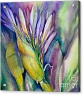 Queen Emma's Lily Blossom Acrylic Print
