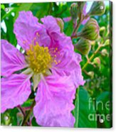 Queen Flower Or Giant Crepe Myrtle Flower Acrylic Print by Lanjee Chee