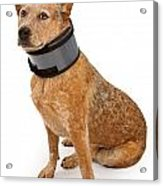 Queensland Heeler Dog Wearing A Neck Brace Acrylic Print by Susan Schmitz