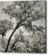 Quercus Suber Retro Acrylic Print
