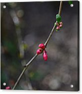 Quince Blooms Acrylic Print