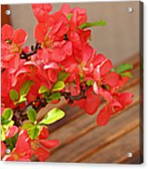Quince Blossoms Acrylic Print