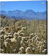 Rabbit Brush Owens Valley Acrylic Print