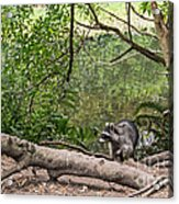 Raccoon At The Lake Acrylic Print