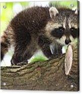 Raccoon Baby Acrylic Print