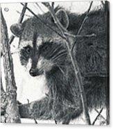 Raccoon - Charcoal Experiment Acrylic Print
