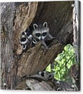 Raccoon Family Time Acrylic Print