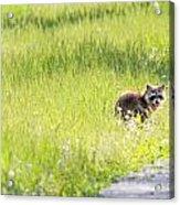 Raccoon In Green Field Acrylic Print