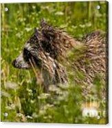 Raccoon In The Meadow Acrylic Print