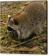Raccoon Acrylic Print