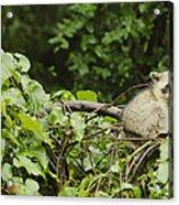 Raccoon Out On A Limb Acrylic Print