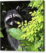 Raccoon Peek-a-boo Acrylic Print