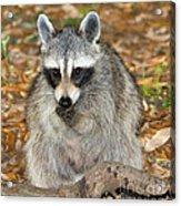 Raccoon Procyon Lotor Adult Foraging Acrylic Print