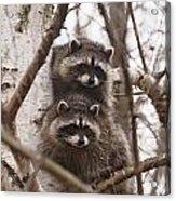 Raccoon Siblings Acrylic Print