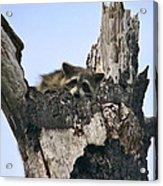 Raccoon Waiting. Lake Marion Creek W.m.a. Acrylic Print