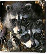 Raccoon Young Procyon Lotor In Tree Acrylic Print