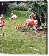 Racing Flamingos Acrylic Print