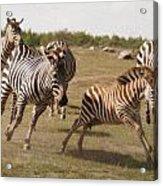 Racing Zebras 1 In Color Acrylic Print