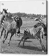 Racing Zebras 1 Acrylic Print