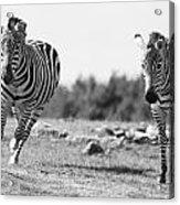 Racing Zebras Acrylic Print