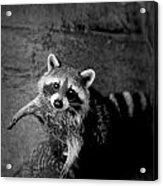 Racoon Bandit Acrylic Print