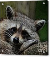 Racoon Acrylic Print