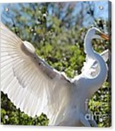 Radiant Great Egret Acrylic Print