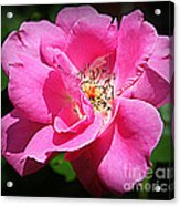 Radiant In Pink - Rose Acrylic Print