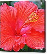 Radiant In Red Acrylic Print