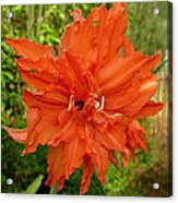Radiant Lily Acrylic Print by Gregory Young