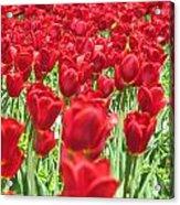 Radiant Red Acrylic Print