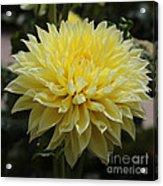 Radiant Yellow Dahlia Acrylic Print