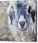 Raggedy Goat Acrylic Print