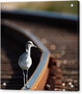 Railroaded Willet  Acrylic Print