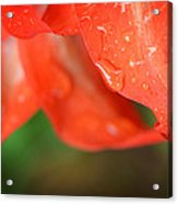 Rain Dance - Red Flower Photography By Sharon Cummings Acrylic Print