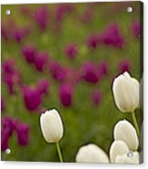 Rain Drops Keep Falling On My Tulips Acrylic Print