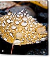 Rain Drops On Autumn Birch Leaf Acrylic Print