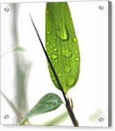 Rain Drops On Bamboo Leaves Acrylic Print