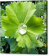 Raindrops On Leaves Acrylic Print