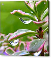 Raindrops On Sedum Acrylic Print