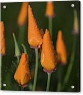 Rain Falls On California Poppies Acrylic Print