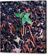Rain Forest Seedling, Indonesia Acrylic Print