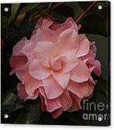 Rain Kissed Camellia Acrylic Print