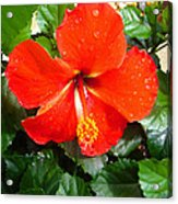 Rain Kissed Hibiscus Beauty Acrylic Print by Ella Char