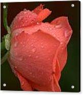 Rain Kissed Rose Acrylic Print