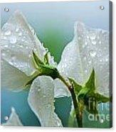Rain On Sweet Peas Acrylic Print