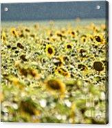 Rain On The Sunflowers Acrylic Print