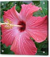Rain Soaked Hibiscus Acrylic Print