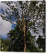 Rainbow Eucalyptus - Tall Proud And Beautiful Acrylic Print