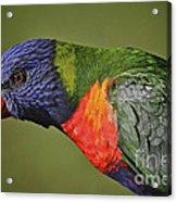 Rainbow Lorikeet 4 Acrylic Print by Heng Tan